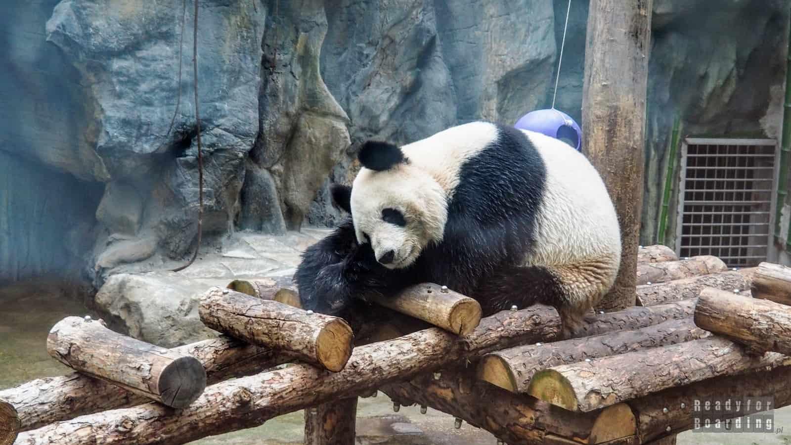 Pekin - pandy wielkie w ZOO (galeria zdjęć)