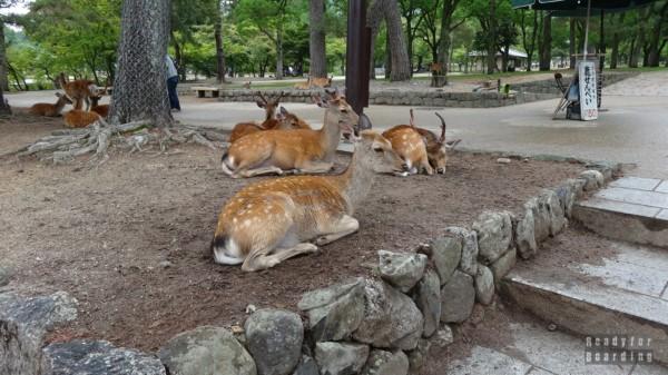 Nara - Daniele/Jelonki w Nara Park