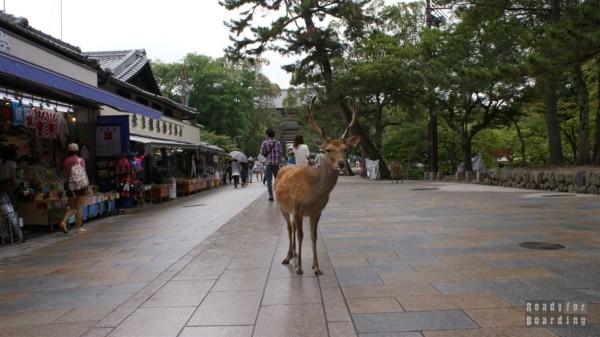 Nara - Jelonek przed Nandaimon Gate do Todaiji Temple