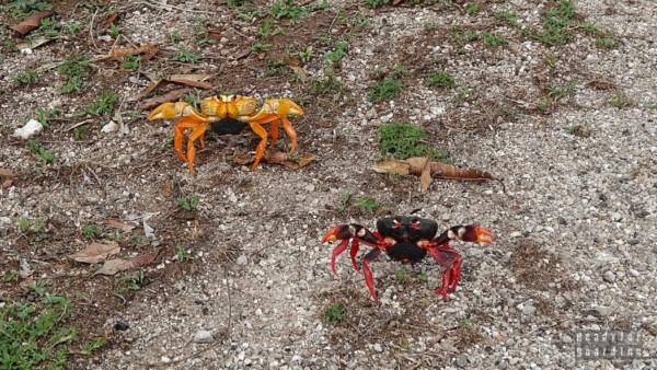 Kraby, kraby w Caleta Buena - Kuba