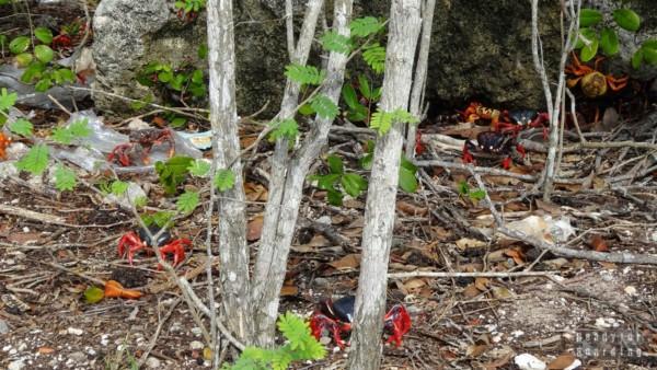Jeszcze więcej krabów w Caleta Buena - Kuba