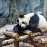 Pekin – pandy wielkie w pekińskim ZOO