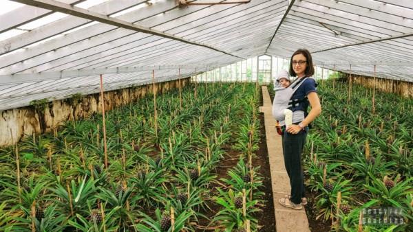 Augusto Arruda - plantacja ananasów na Azorach