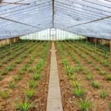 Jak rosną ananasy?