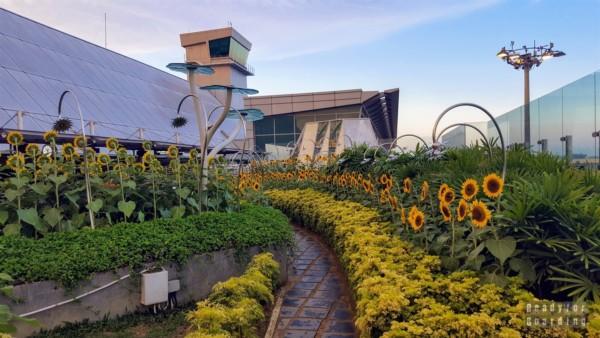 Ogród ze słonecznikami - lotnisko Singapur-Changi
