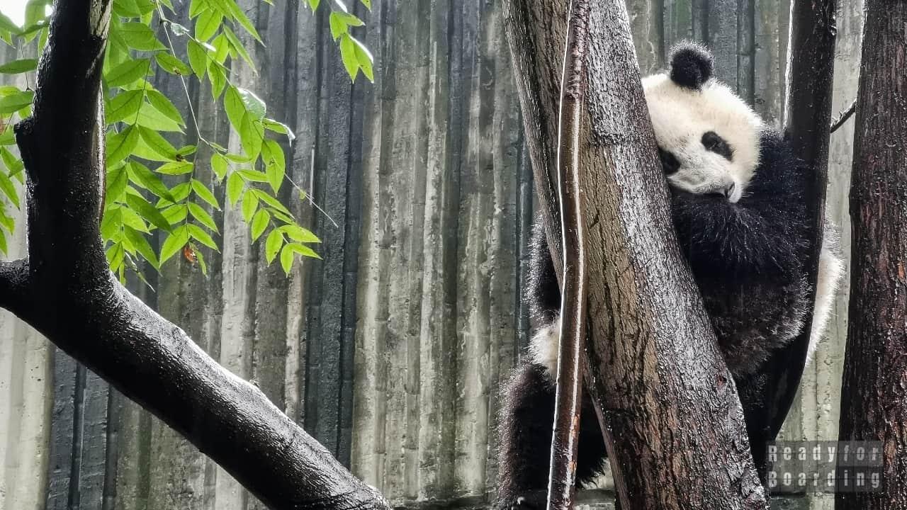 Chengdu, Chiny - Pandy i wiele więcej! (galeria zdjęć)