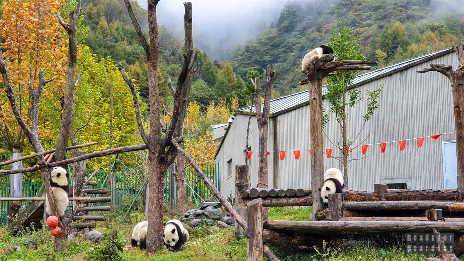 Pandy w Chinach (galeria zdjęć)